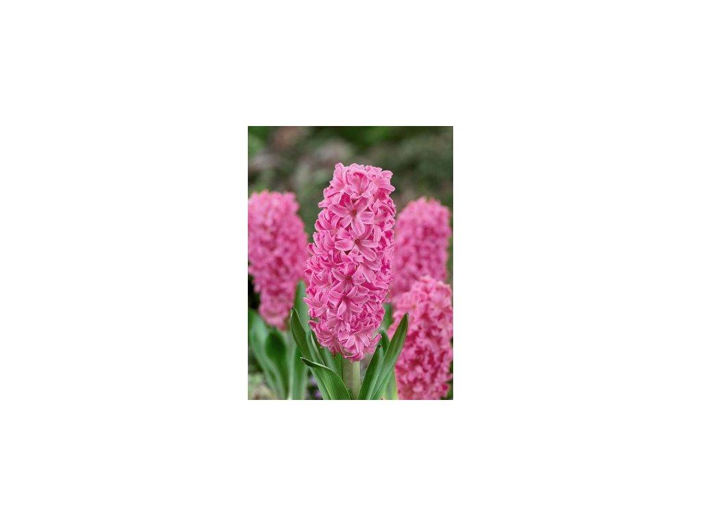 Hyacint Ibis (3 ks)  Hyacint Ibis