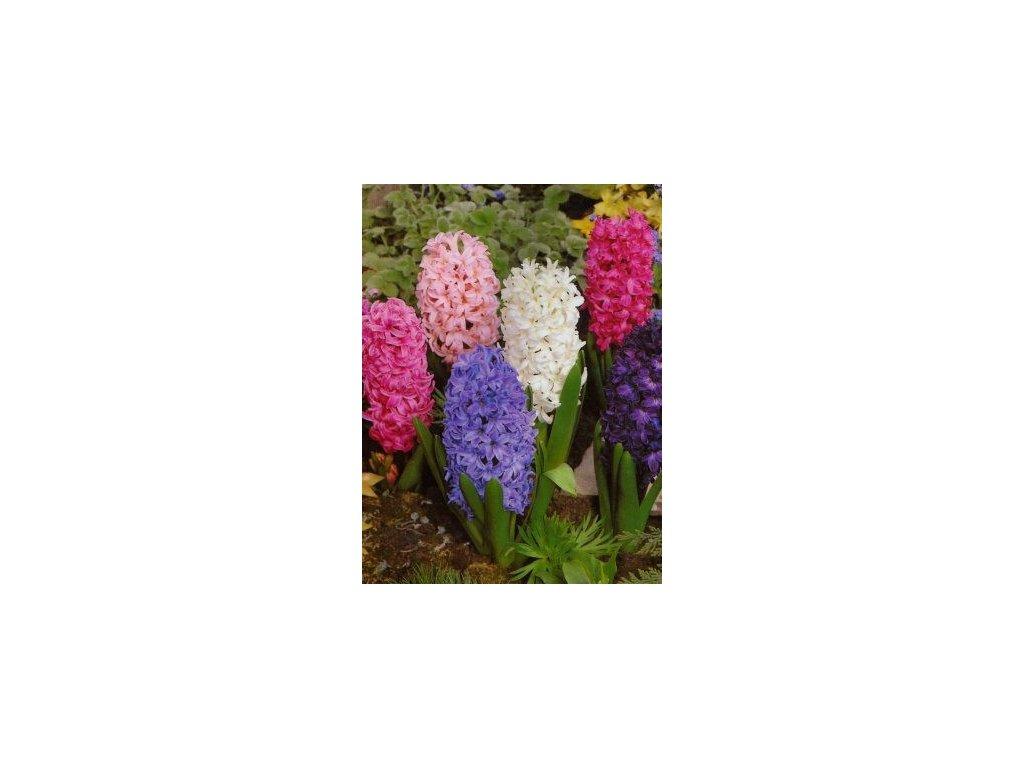 Hyacint - směs barev (3 ks)  Hyacint - směs barev