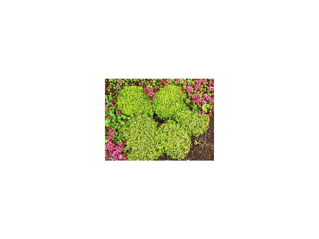 Buxus microphylla 'Trompenburg'  Zimostráz malolistý 'Trompenburg'