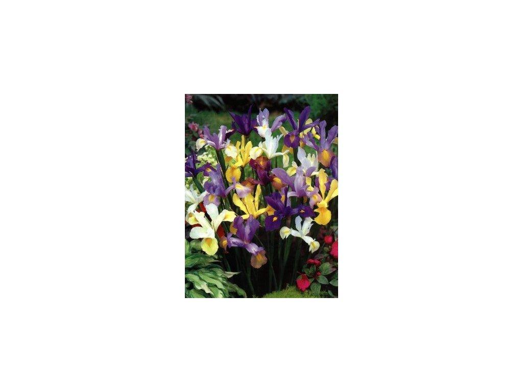 Iris hollandica - směs barev (10 ks)  Kosatec holandksý - směs barev