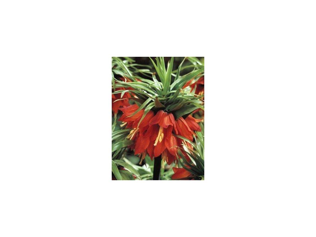 Fritillaria Imperialis Rubra (1 ks)  Řebčík Imperialis Rubra