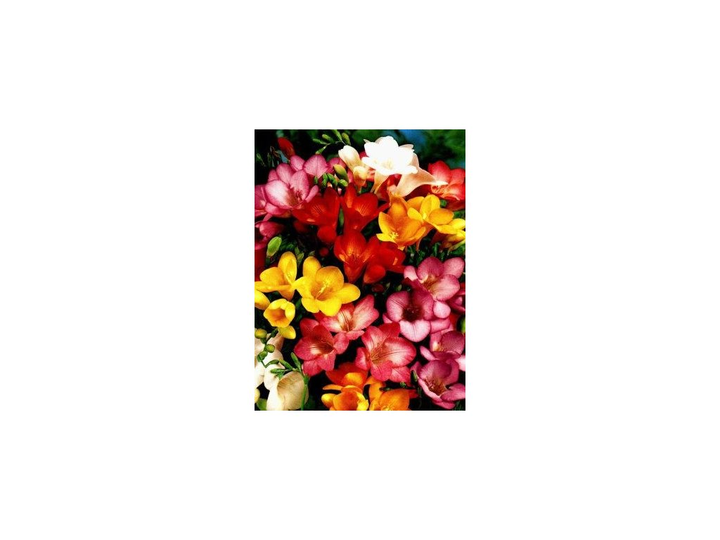 Fresia - směs barev, jednoduchý květ (15 ks)  Fréze - směs barev, jednoduchý květ