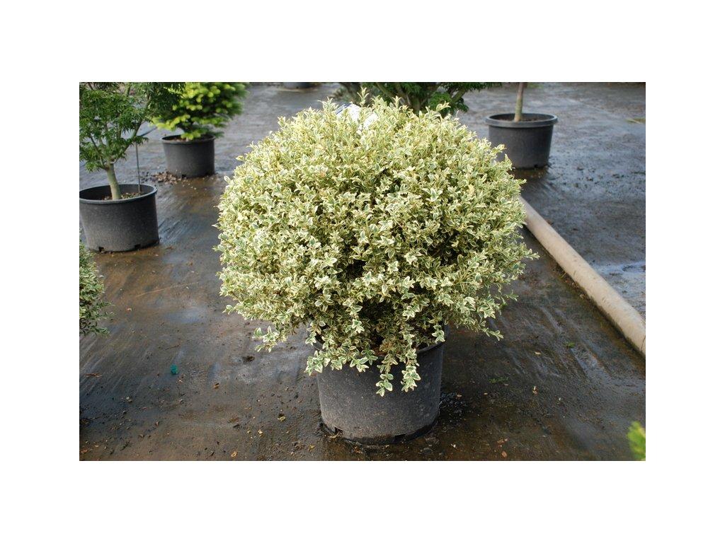 Buxus sempervirens 'Aureovariegata'  Zimostráz obecný 'Aureovariegata'