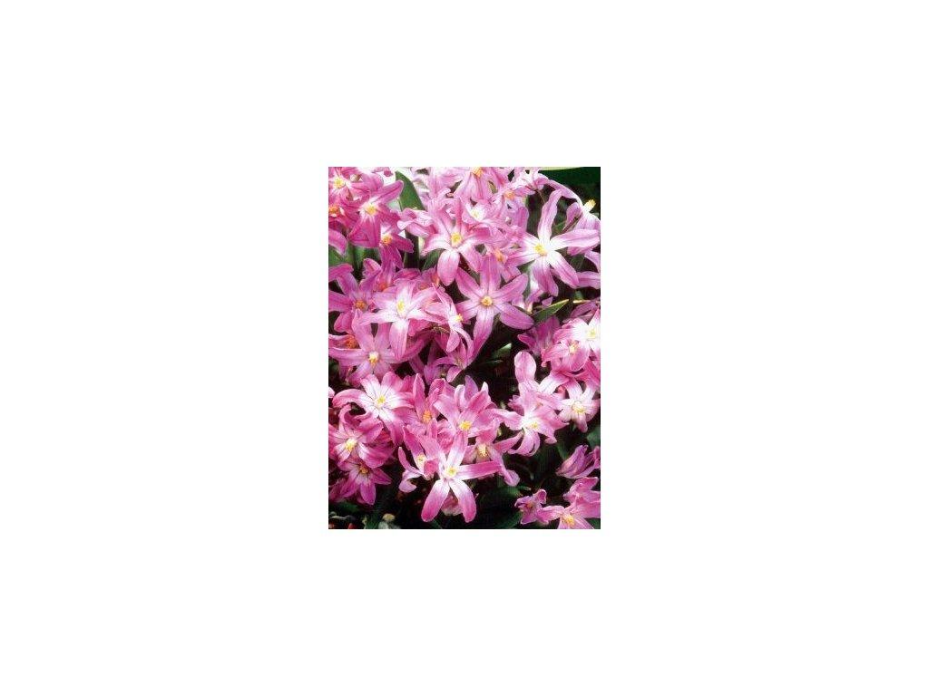 Chionodoxa Pink Giant (10 ks)  Ladonička Pink Giant