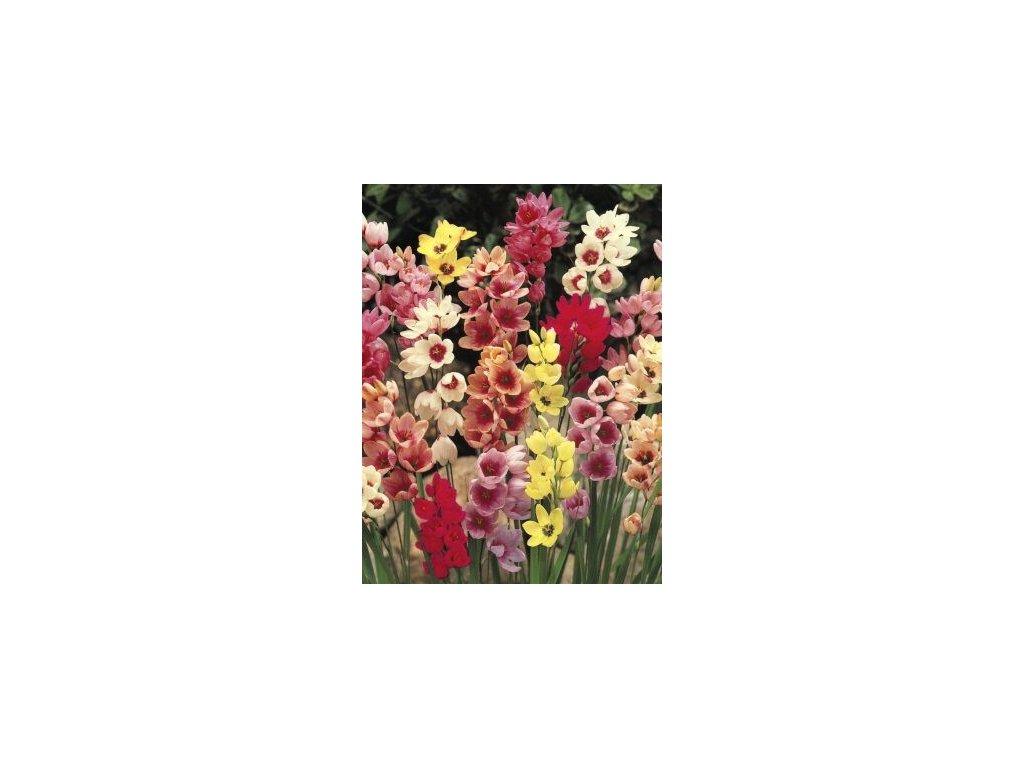 Ixia hybrida - směs barev (20 ks)  Ixie hybrida - směs barev