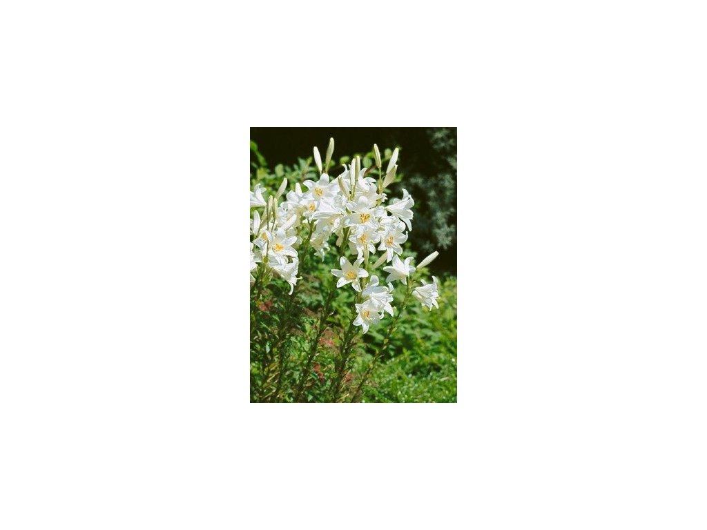 Lilium Candidum (1 ks) - podzimní lilie  Lilie bělostná