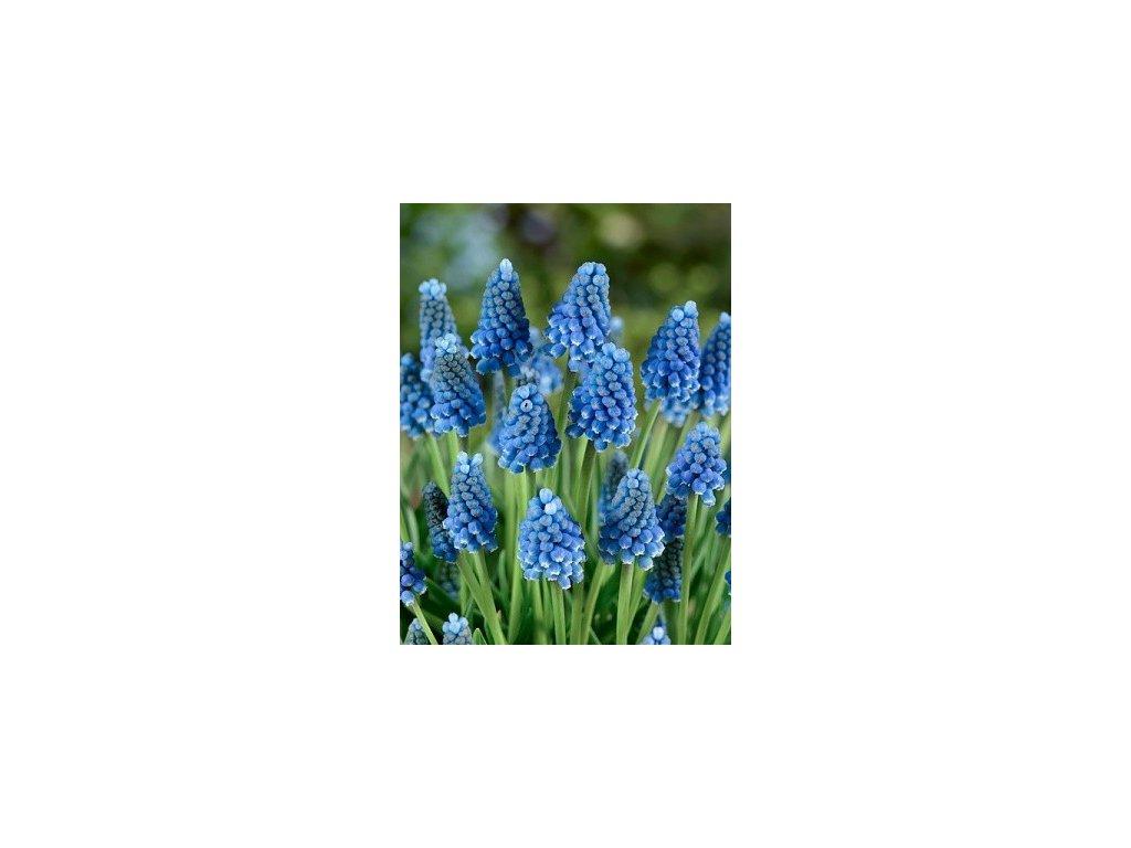 Muscari Blue Magic (10 ks)  Modřenec Blue Magic