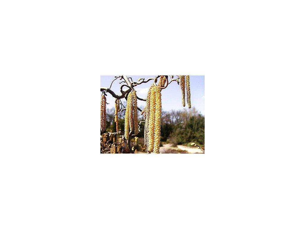 Corylus avellana ´Contorta´  Líska obecná ´Contorta´