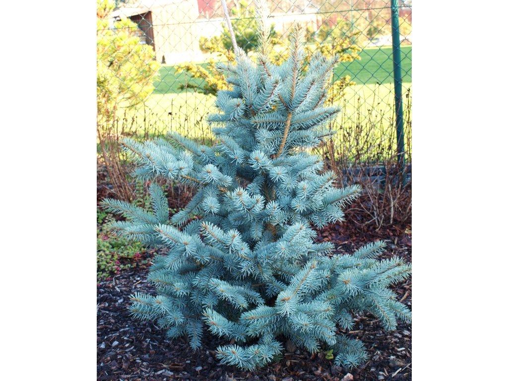 Picea pungens Glauca  Smrk sivý Glauca