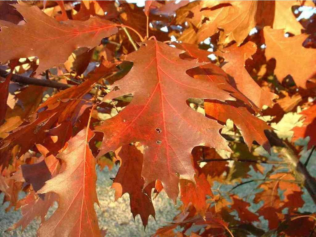 Quercus rubra 35 - 50 cm kontejnerovaný  Dub červený - s balem