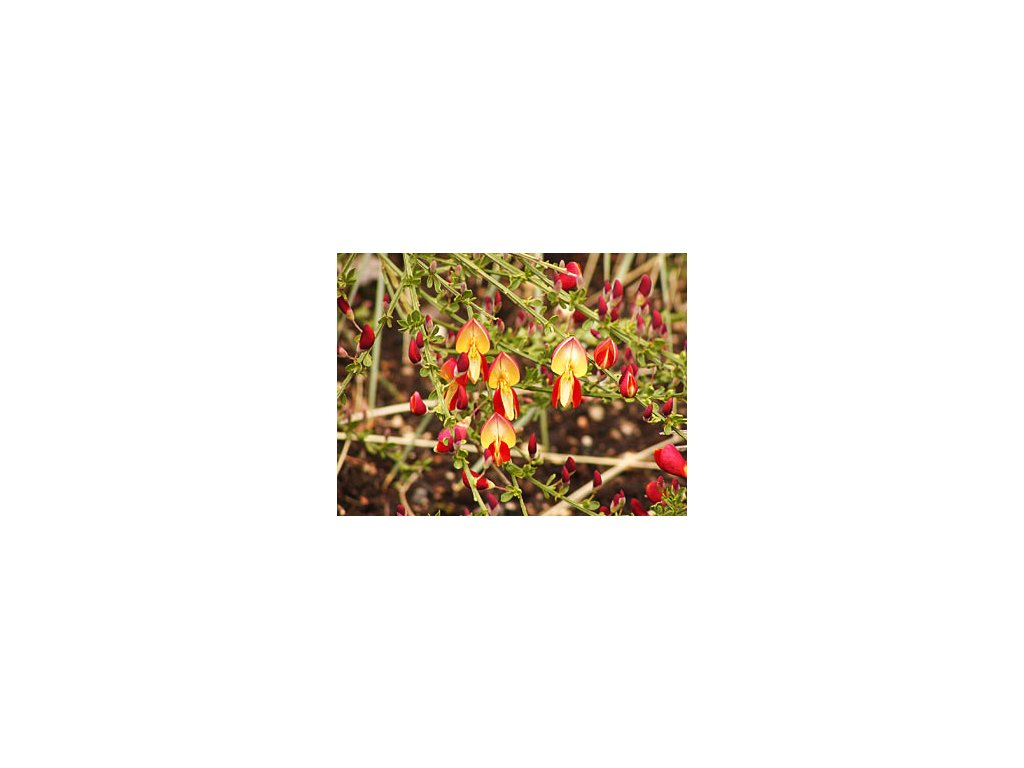 Cytisus ´Roter Favorit´  Janovec ´Roter Favorit´