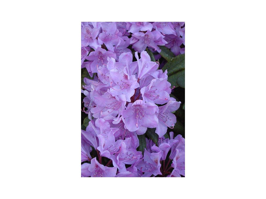 Rhododendron Catawbiense Grandiflorum 25 - 40 cm  Pěnišník Catawbiense Grandiflorum
