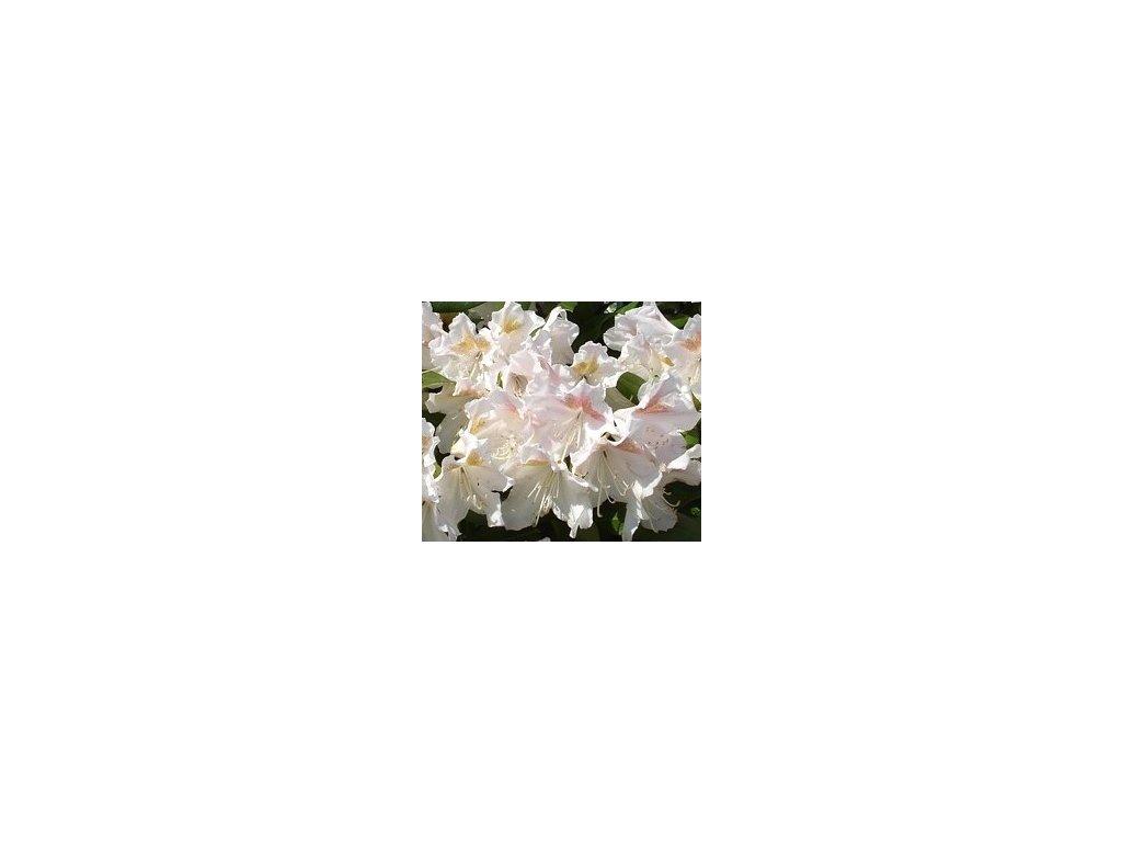 Rhododendron Eskimo 25 - 40 cm  Pěnišník Eskimo