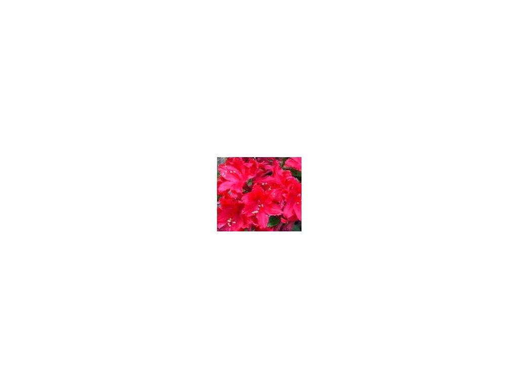 Azalea knaphill Doloroso - velkokvětá 30 - 40 cm  Velkokvětá azalka Doloroso