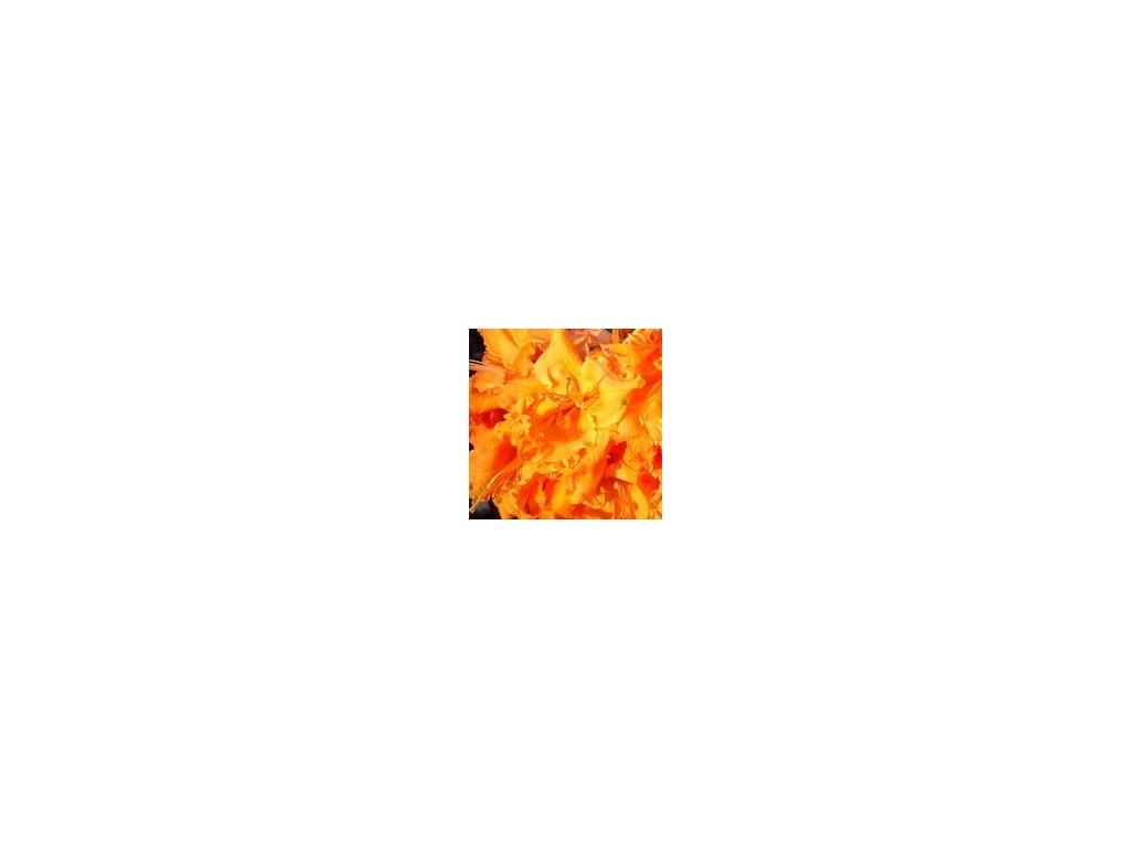 Azalea knaphill Bakarat - velkokvětá 30 - 40 cm  Velkokvětá azalka Bakarat