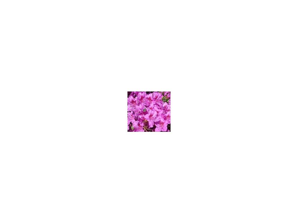 Azalea japonica Königstein - japonská azalka, zakrslá  Japonská azalka Königstein