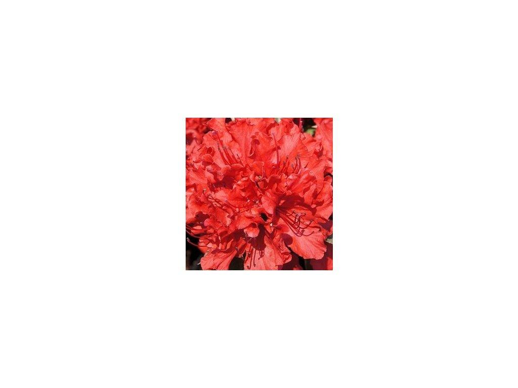 Azalea japonica Hot Shot Variegated - japonská azalka  Japonská azalka Hot Shot Variegated (Rhododendron obtusum)