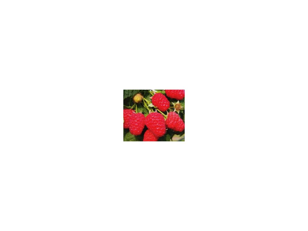 Maliník Tulameen - červený  (kontejenrovaný)  Malina Tulameen červená