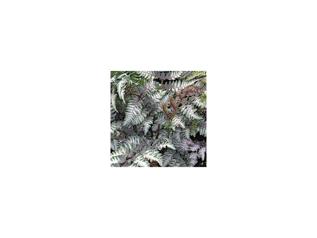 Athyrium nipponicum Metalicum - kapradina  papradka japonská