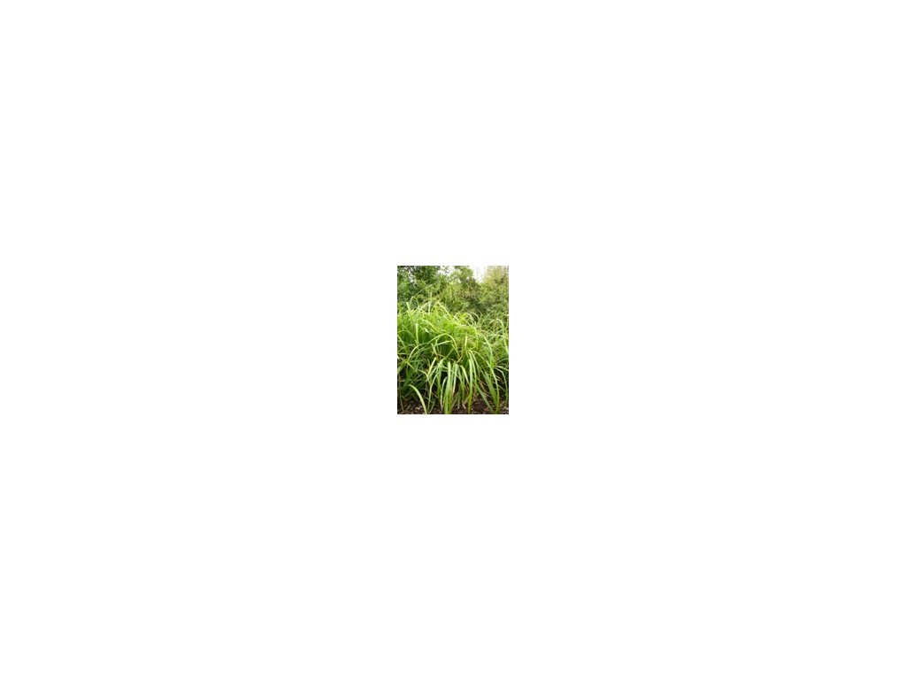 Carex pendula  Ostřice převislá
