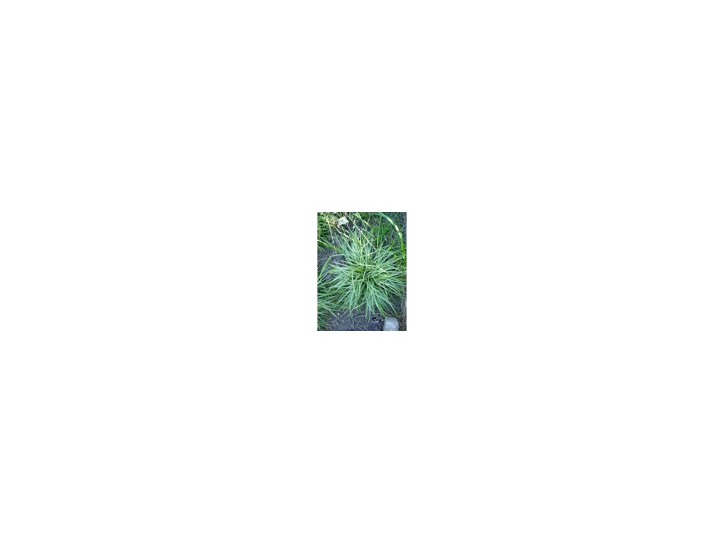 Carex morrowii Silver Scepter  Ostřice Morrowova Silver Scepter