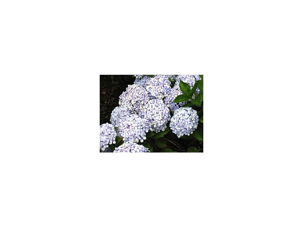 Hydrangea macrophylla ´Bouquet Rose´  Hortenzie velkolistá 'Bouquet Rose'