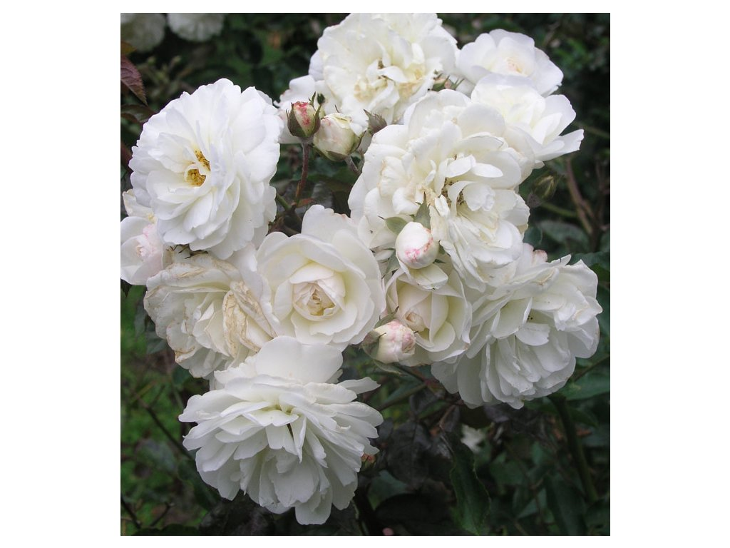 Rosa Snow Wall - pnoucí  Růže pnoucí Snow Wall