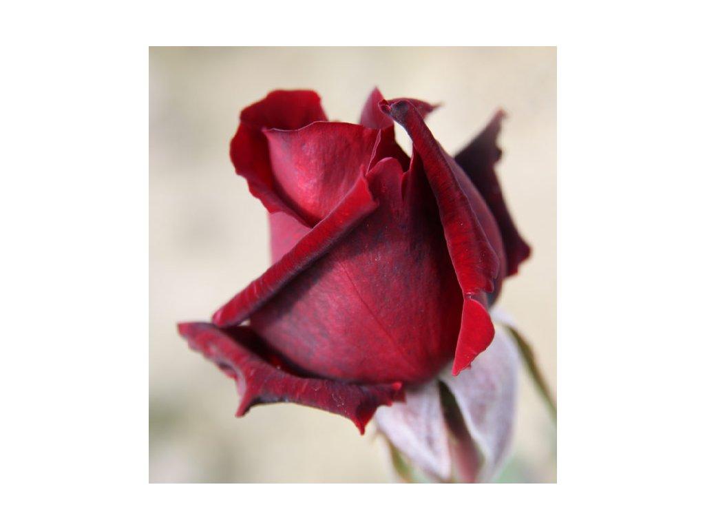 Rosa Mr. Lincoln - velkokvětá  Růže velkokvětá Mr. Lincoln