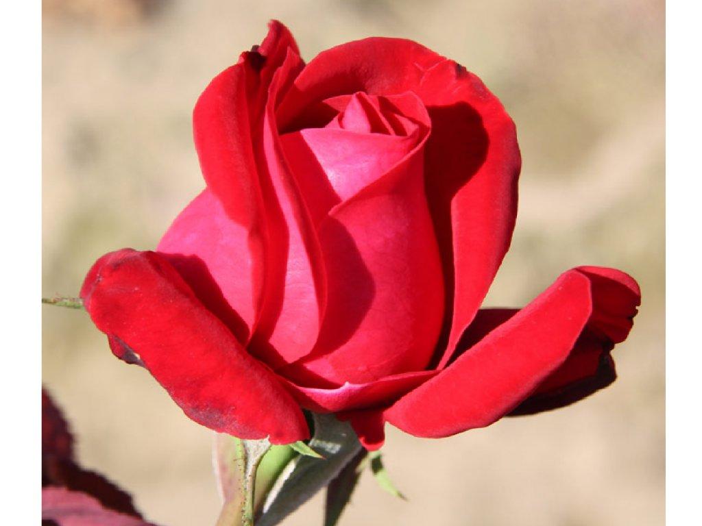 Rosa Dame de Coeur - velkokvětá  Růže velkokvětá Dame de Coeur