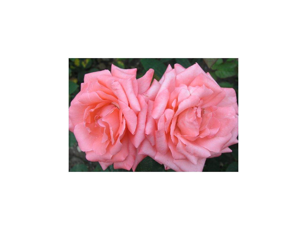 Rosa Queen of England - velkokvětá  Růže velkokvětá Queen of England