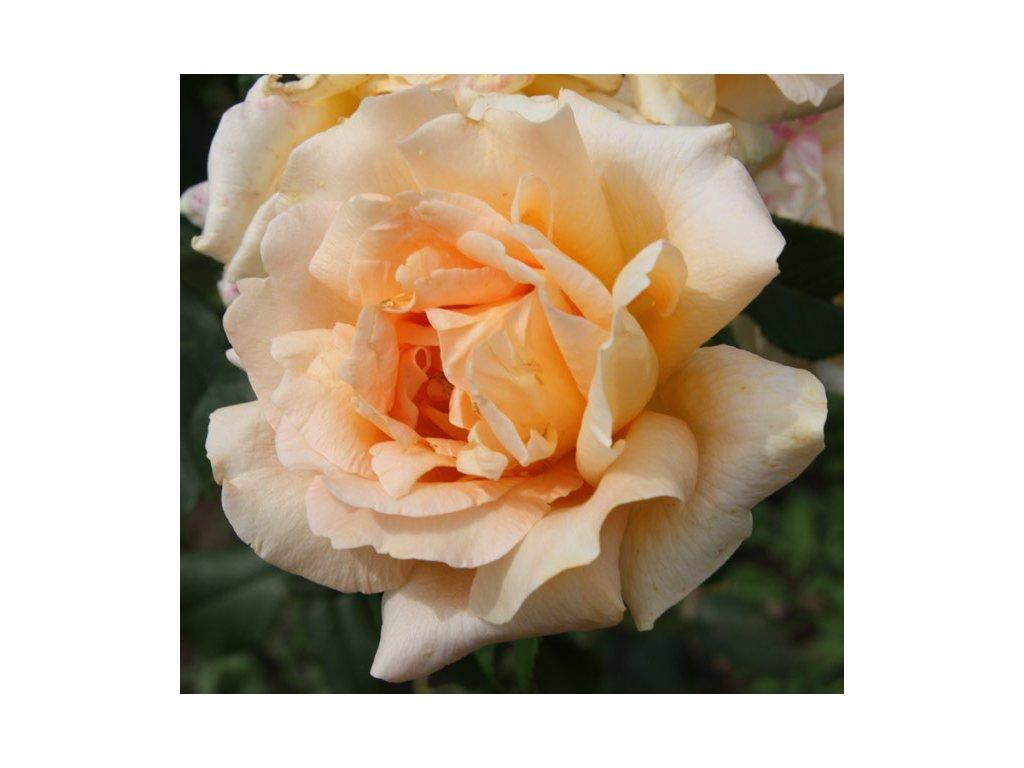 Rosa Casanova - velkokvětá  Růže velkokvětá Casanova