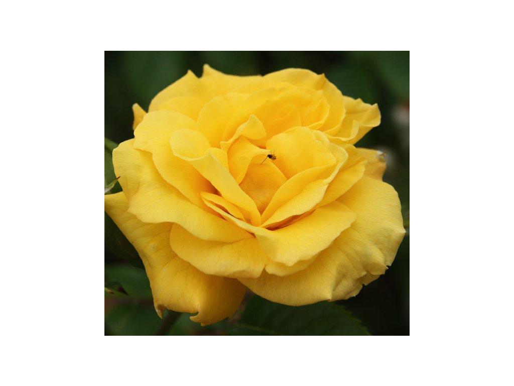 Rosa Golden Perfume - velkokvětá  Růže velkokvětá Golden Pefume