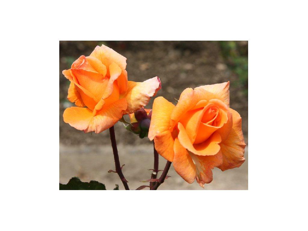 Rosa Doris Thysterman - velkokvětá  Růže velkokvětá Doris Thysterman