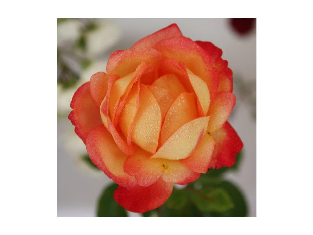 Rosa Double Perfume - velkokvětá  Růže velkokvětá Double Perfume