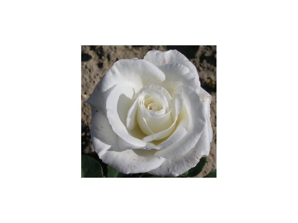 Rosa Virgo - velkokvětá  Růže velkokvětá Virgo