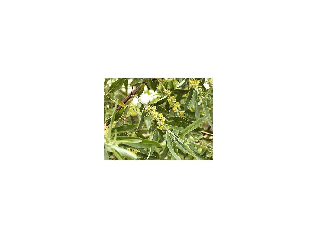 Elaeagnus angustifolia  Hlošina úzkolistá