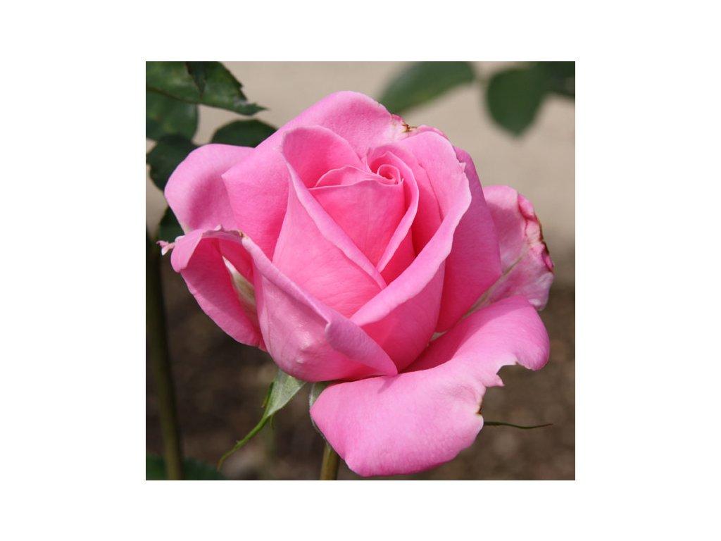 Rosa Tom Tom - polyantka (sadová, mnohokvětá)  Růže mnohokvětá Tom Tom (sadová)