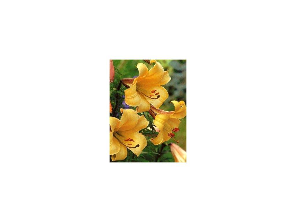 Lilium Golden Splendor (2 ks)  Lilie Golden Splendor