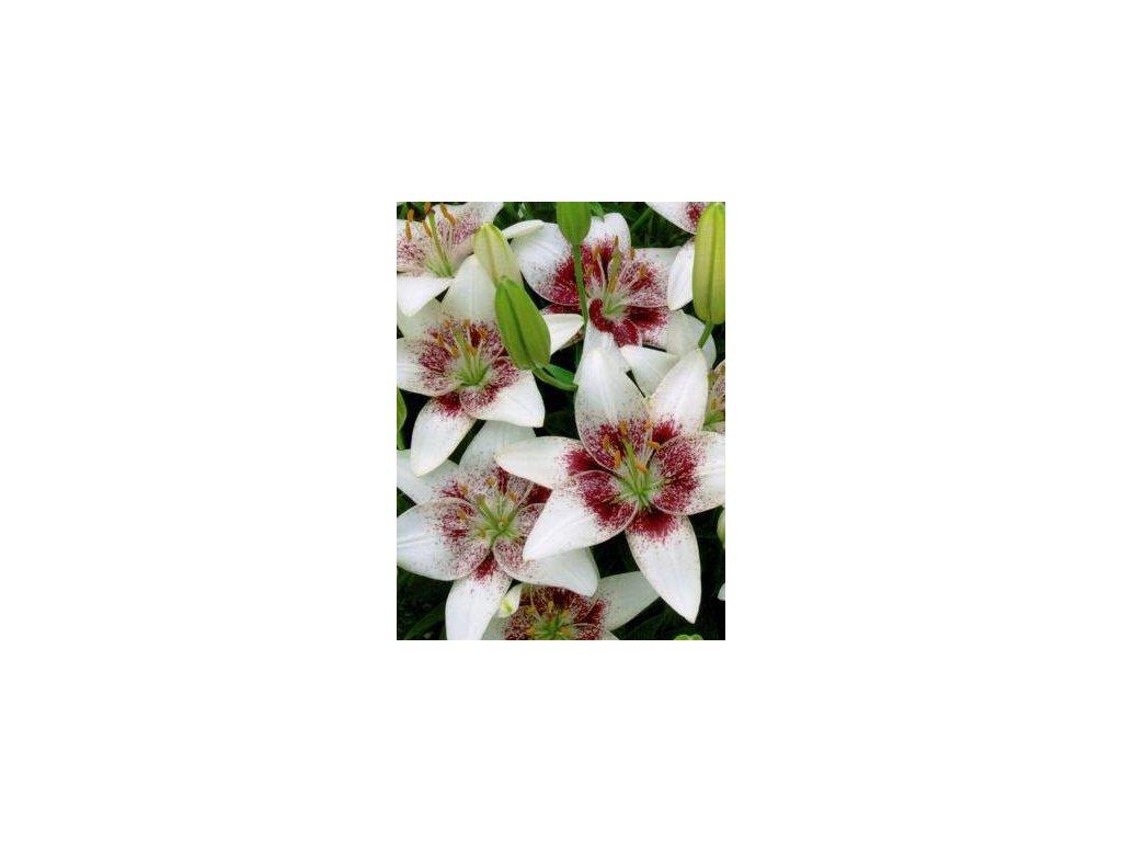 Lilium white Pixels (2 ks)  Lilie white Pixels