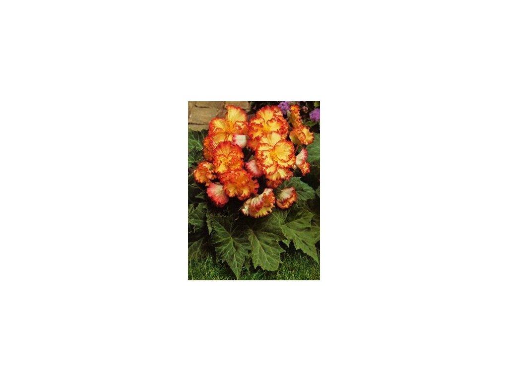 Begonia crispa marginata - žlutočervená (3 ks)  Begónie crispa marginata - žlutočervená
