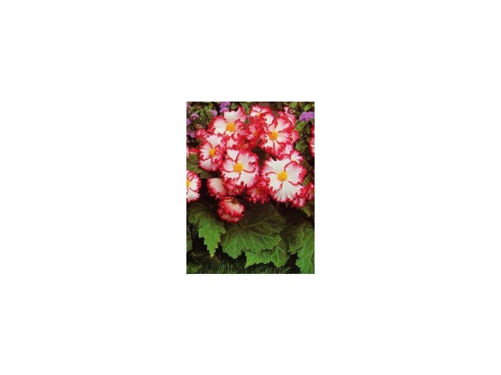 Begonia crispa marginata - bíločervená (3 ks)  Begónie crispa marginata - bíločervená