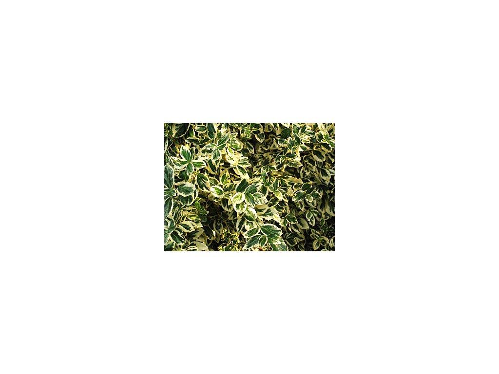 Euonymus fortunei 'Sheridan Gold'  Brslen žlutopestrý 'Sheridan Gold'
