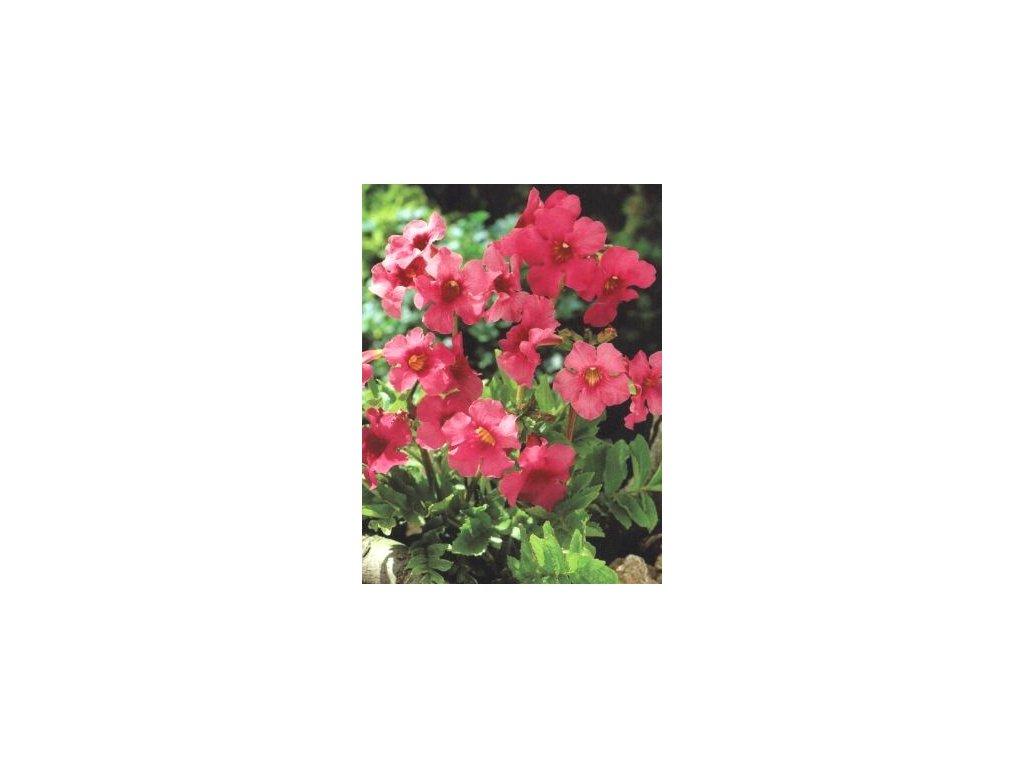 Incarvilea delavay - růžová (3 ks)  Dvojostice delavay - růžová