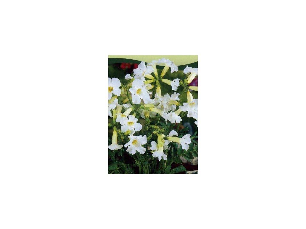 Incarvilea delavay Snow Top - bílá (3 ks)  Dvojostice delavay - bílá