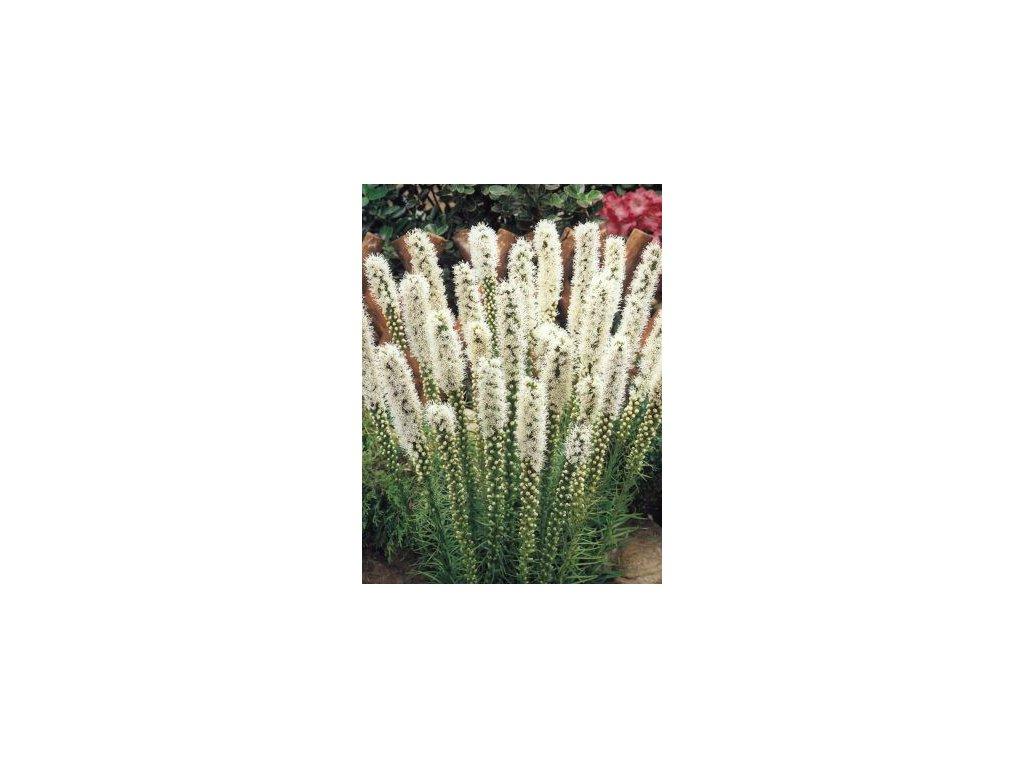 Liatris spicata Floristan White (5 ks)  Šuškarda klasnatá (shorakvět) Floristan White
