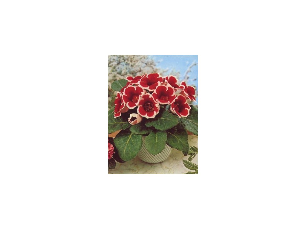 Gloxinia Kaiser Fridrich (2 ks)  Gloxinie Kaiser Fridrich