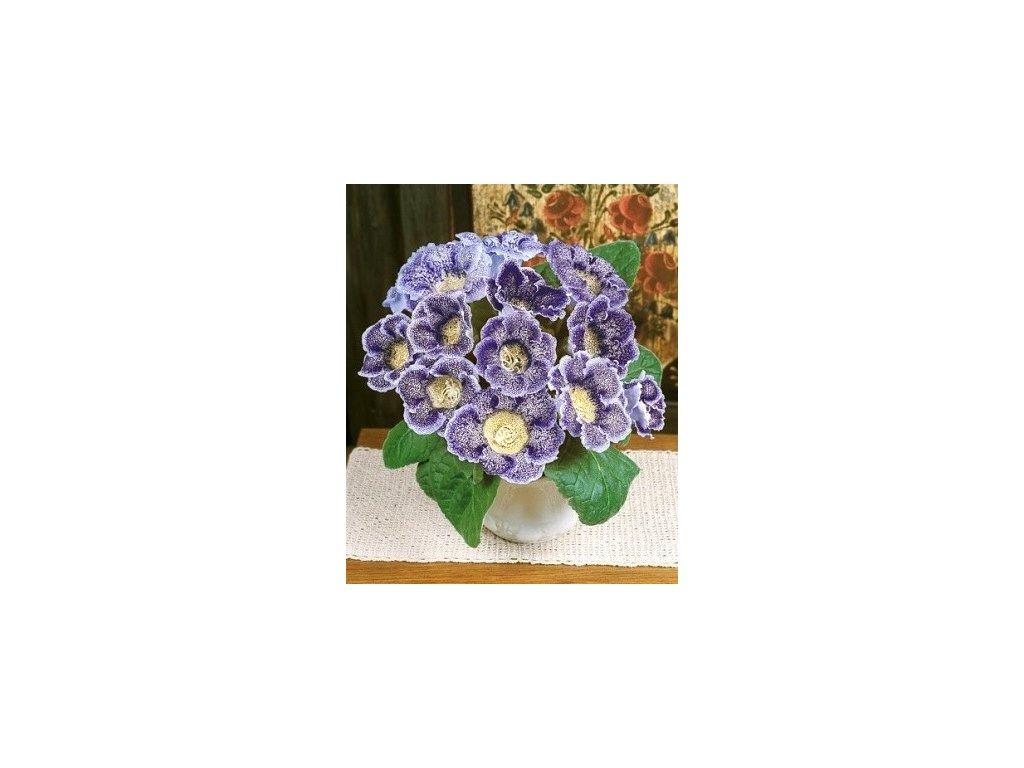 Gloxinia Tigrina Blue (2 ks)  Gloxinie Tigrina Blue