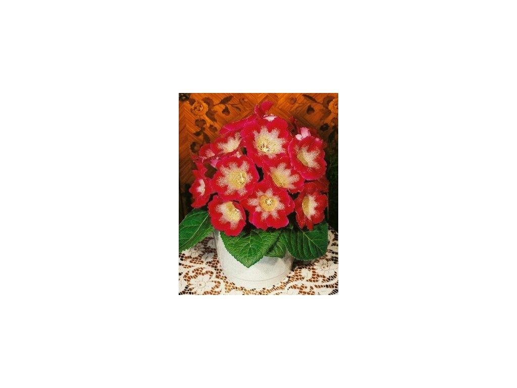 Gloxinia Tigrina Red (2 ks)  Gloxinie Tigrina Red