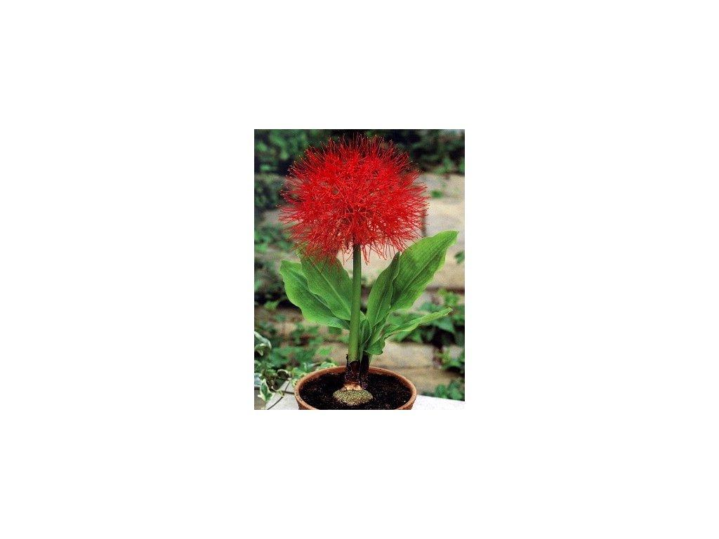 Scadoxus multiflorus  Krvokvět