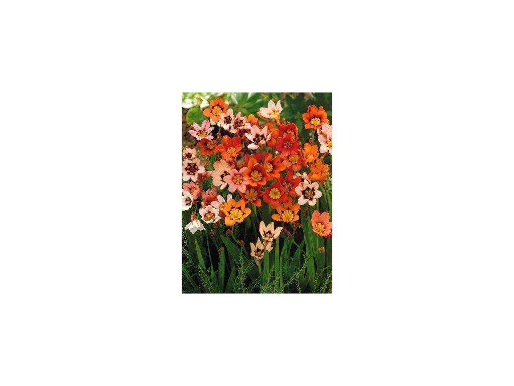 Sparaxis - směs barev (20 ks)  Sparaxis (cikánská květina) - směs barev